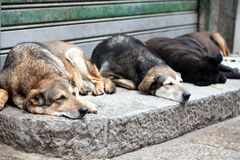 Sleeping stray dogs. Closeup of snouts of sleeping stray dogs on a street pavement Royalty Free Stock Photography