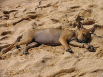 Sleeping stray puppy on the beach Stock Images