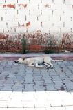Sleeping street dog Stock Images