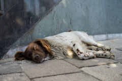 Sleeping streetdog in Tirana, Albania. One of the many lonely dogs that live in the streets of Tirana, sleeping on the street stock photography