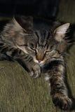 Sleeping striped cat Stock Photography