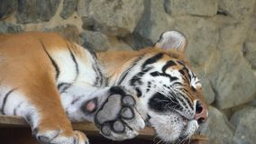 A sleeping striped tiger lies in a rocky cave in a zoo on a sunny day. A big striped tiger lies on a wooden deck with a high rock in the background and dreams stock footage