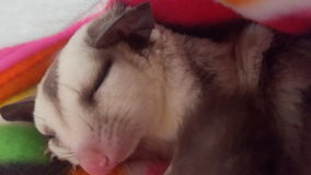 Sleeping sugarglider Royalty Free Stock Images