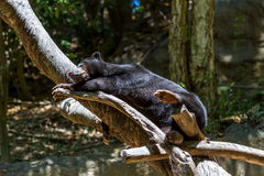 Sleeping Sun Bear Stock Photos