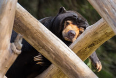 Sleeping Sun Bear Stock Photo