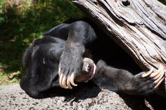 Sleeping sun bear Royalty Free Stock Images