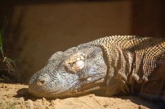 Sleeping  in the sun Komodo Dragon portrait Royalty Free Stock Photography