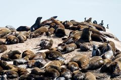Sleeping and Sunbathing Seals. On Cape Town`s Shores Royalty Free Stock Photo