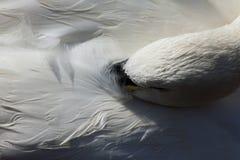 Sleeping swan Royalty Free Stock Photos