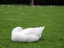 Sleeping swan Stock Photos