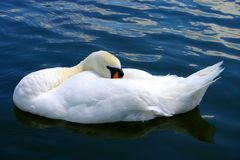 Sleeping Swan Royalty Free Stock Photography
