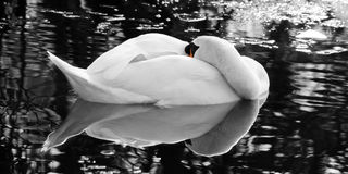The sleeping swan - Black and white Royalty Free Stock Photos