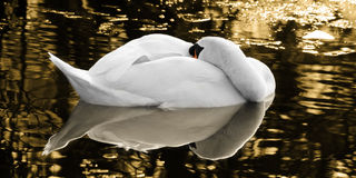 The sleeping swan of the golden lake Royalty Free Stock Image