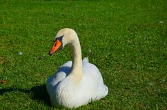 Sleeping swan Royalty Free Stock Images