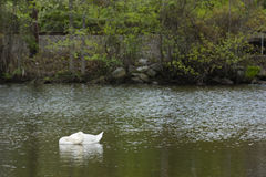 Sleeping Swan in Pond by the Woods Royalty Free Stock Photos