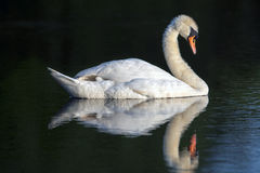 A sleeping swan reflected in the water Royalty Free Stock Photography