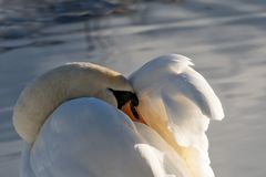 Sleeping Swan. Resting After The Flight Royalty Free Stock Image