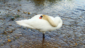 Sleeping swan standing in river Stock Photo