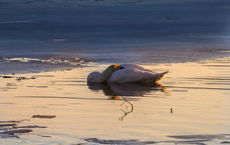 Sleeping swan surrounded by ice. A Swan sleeps on an ice-free place in the sunset Stock Images