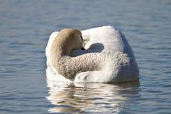 Sleeping swan royalty free stock photo