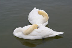 Sleeping swans. Two swans sleeping in a pond in Hampton Court Park, Greater London Stock Photo