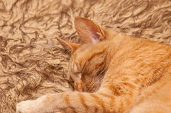 Sleeping tabby. Sleeping red tabby cat on a fluffy bed Stock Photography