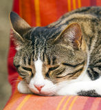 Sleeping tabby cat Stock Photography
