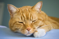 Sleeping tabby cat Stock Photo