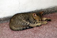 Sleeping Tabby Cat Stock Photos
