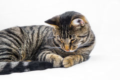 Sleeping Tabby Cat. Isolated on white Royalty Free Stock Photo