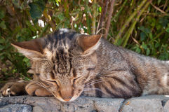 Sleeping tabby cat Stock Image