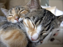 Sleeping tabby cats. Closeup of cuddled tabby cats or kittens, sleeping royalty free stock photography