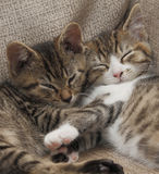 Sleeping tabby kittens. Two sleeping tabby kittens / cats Royalty Free Stock Images