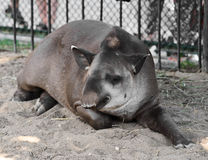 Sleeping tapir Royalty Free Stock Image