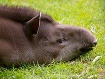 Sleeping tapir. Portrait of a sleeping tapir in the grass Stock Photography