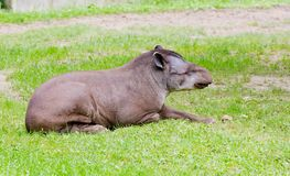 Sleeping Tapir Royalty Free Stock Photo