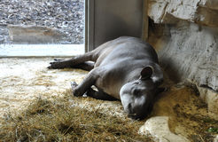 Sleeping tapir in captivity Royalty Free Stock Photography