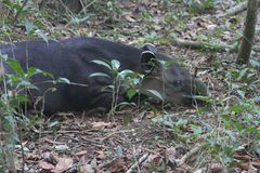 Sleeping tapir, Corcovado NP, Costa Rica Royalty Free Stock Photos