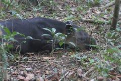 Sleeping tapir, Corcovado NP, Costa Rica Royalty Free Stock Photos