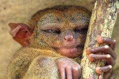 Sleeping tarsier Stock Image