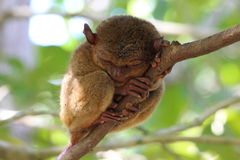 Sleeping tarsier Stock Image