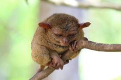 Sleeping tarsier Stock Photos