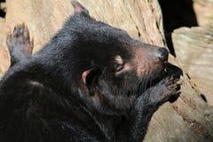 Sleeping Tasmanian Devil royalty free stock photography