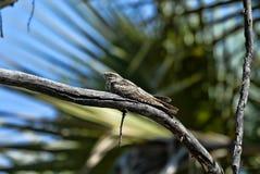 Sleeping Tawny frogmouth, Podargus strigoides, South Luangwa, Zambia. The Sleeping Tawny frogmouth, Podargus strigoides, South Luangwa, Zambia Stock Photography