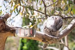 A sleeping tawny frogmouth. Is a nocturnal animal bird with a powerful frog like-beak in Australia Royalty Free Stock Photo