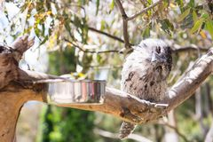 A sleeping tawny frogmouth. Is a nocturnal animal bird with a powerful frog like-beak in Australia Stock Photo