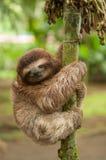 Sleeping three clawed sloth Stock Photography