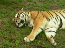 Sleeping tiger. In the zoo - front half photo Stock Photos