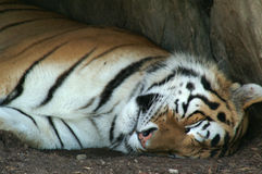 Sleeping Tiger. A sleeping tiger in a lazy summer day Stock Photos