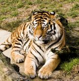 Sleeping Tiger. Tiger trying to stay awake, can't quite manage it though Royalty Free Stock Photos